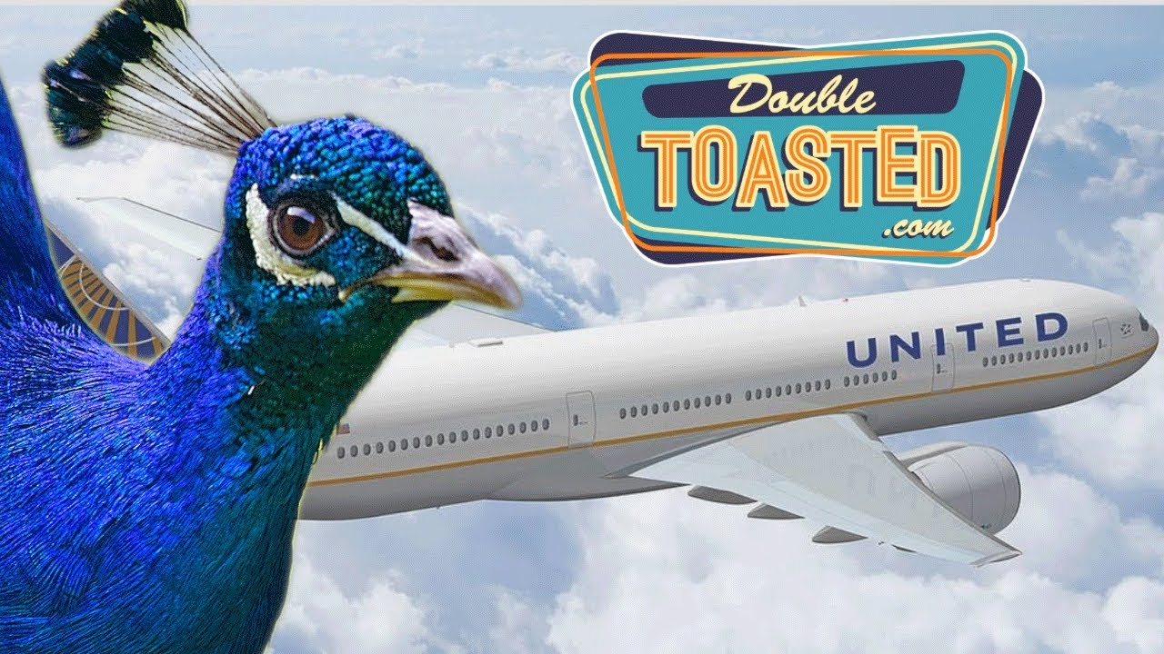 peacock-denied-flight-on-united-airlines