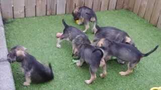 Cavalier X Miniature Schnauzer Pups