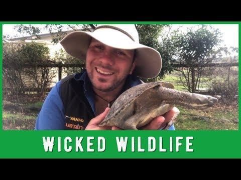 The Red Eared Slider - Australia's Alien Turtle