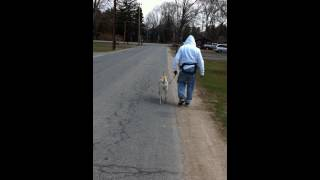 Walking On Leash With A Prong Collar And Training