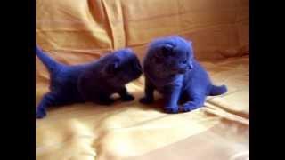 Британские котята голубого окраса. ridolina.ru