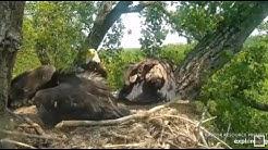 Decorah Eagles~Mom Makes Back to Back Fish Deliveries-D36 Gets a Steal_6.15.20
