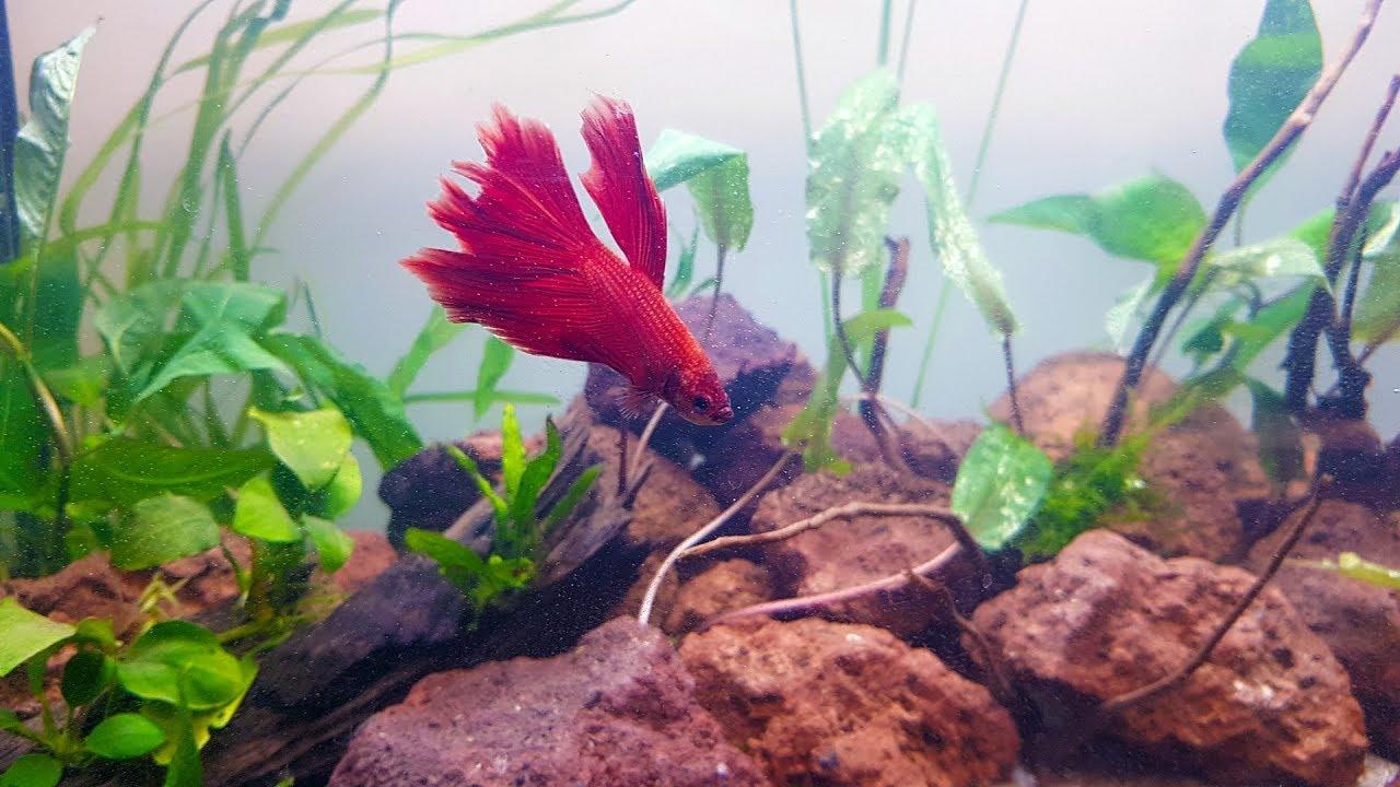 aquarium kampffisch einrichten