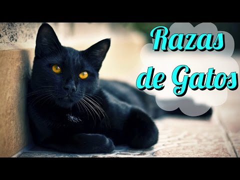 Razas de Gatos #2 (Toyger, Siames, Abisinio & Bombay)