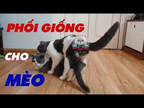 Phối Giống Mèo Như Thế Nào Mới Được| Cách Phối Giống Cho Mèo| Mèo Gào Đực#2|Dlohu Channel