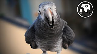 Are Talking Parrots Cute or Deadly?!   Parrot Training Podcast Ep. 9