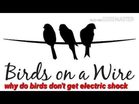 why do birds don't get electric shock [ electrical education )