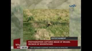 Photographer captures image of weasel on back of woodpecker