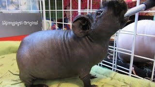 GoPro: Guinea Pig Morning Routine