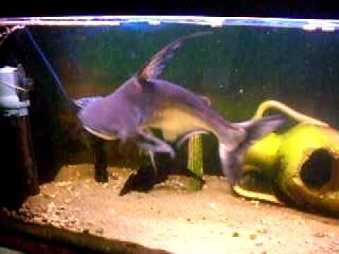 Requin en aquarium youtube - Poisson shark aquarium ...