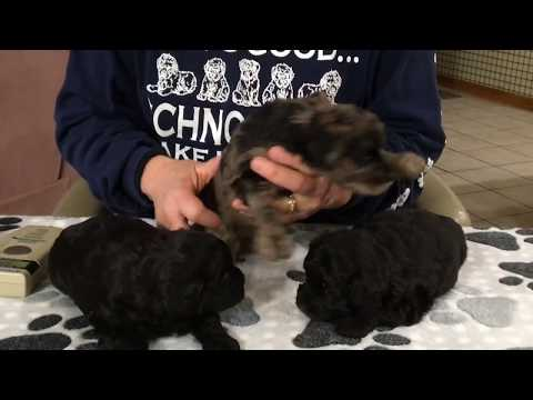 Furgee's Schnoodle  puppies 11-13-17 4 weeks old