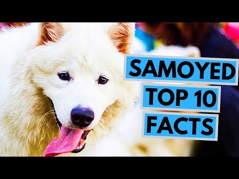 Samoyed - TOP 10 Interesting Facts
