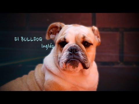 Origen y Características del Bulldog Inglés  TvAgro por Juan Gonzalo Angel