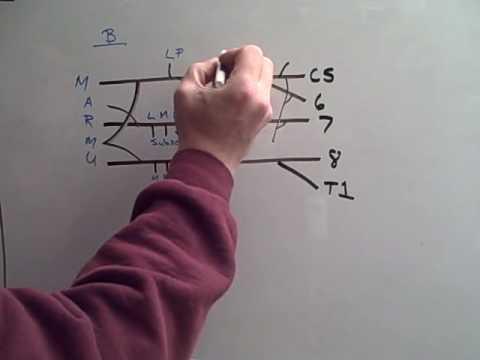Draw the Brachial Plexus in 10 seconds!