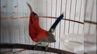 Video Kicauan Si Merah Kolibri Sepah Raja Gacor download MP3, 3GP, MP4, WEBM, AVI, FLV Oktober 2018