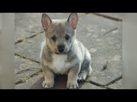 The Swedish Vallhund Is A Wolf That Stays A Pup Forever!