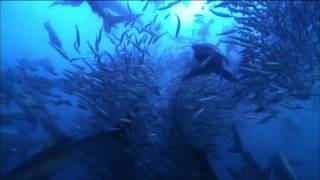 Watch Great Sardine Run | Nature on PBS