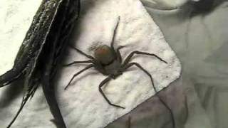 w jaki sposob pająk chowa sie czekajac na ofiare youtube 24 08