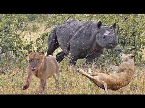 Incredible Wildlife Battle - Lion, Rhino, Elephant and Buffalo Fight