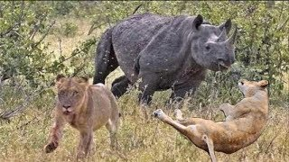 Rhinos Chasing Lions and Elephant