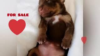 FOR SALE. Перуанская Голая собака в шерсти. ПРОДАЖА