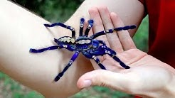 Handling the Blue Tarantula (Poecilotheria metallica)