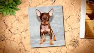 Маленькая собака Верный и трогательный мини русский той