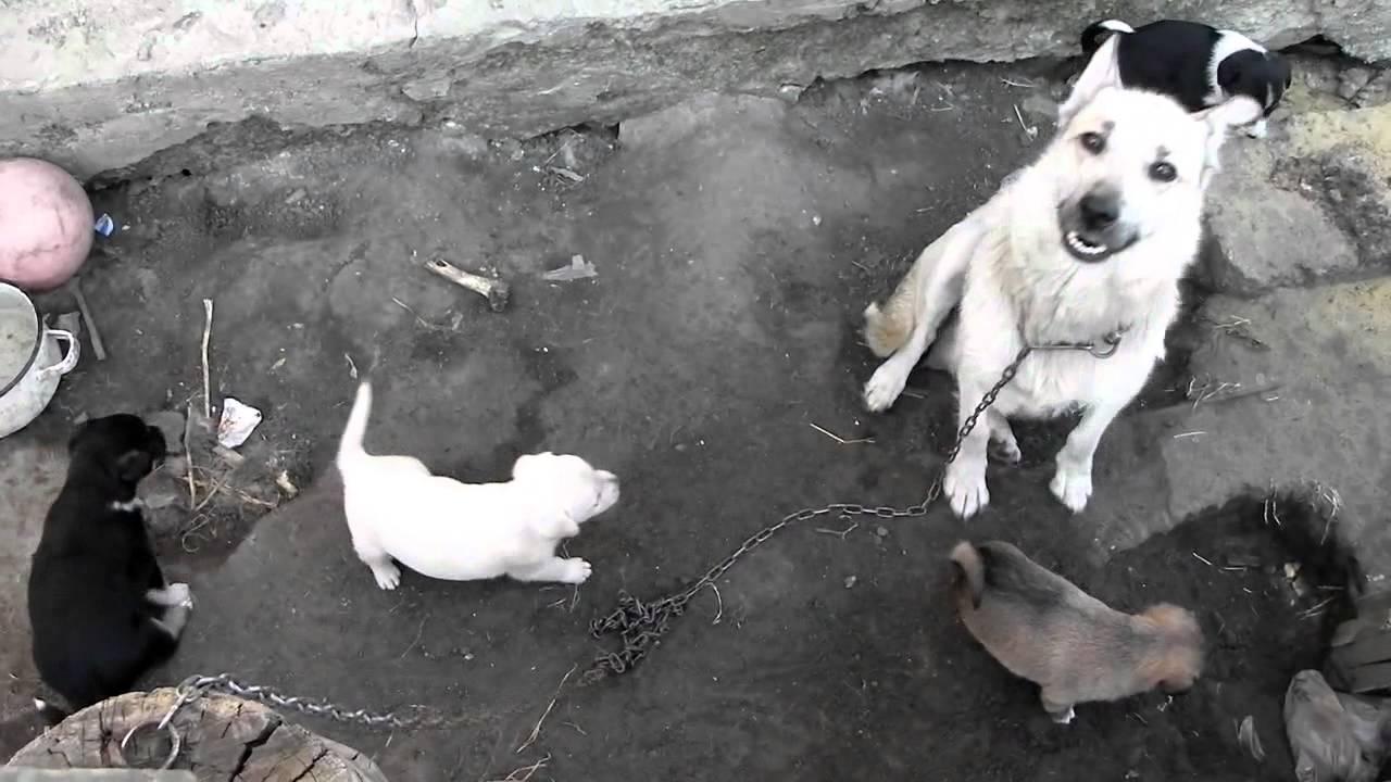 Собака со щенками - YouTube