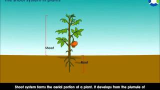 THE SHOOT SYSTEM IN PLANTS
