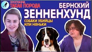 видео Порода бернский зенненхунд – пастушья собака. Описание и фото бернского зенненхунда