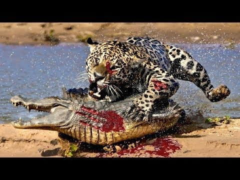 Live:Attacks Of Wild Animals 2017 -The best hunting phase of wildlife Caught On Camera