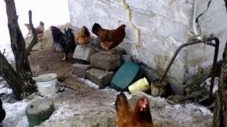 Куры перестали клевать яйца!(Куры перестали клевать яйца, яйценоскость увеличилась! Спасибо Елене Анатольевне за совет!, 2017-01-10T13:25:20.000Z)