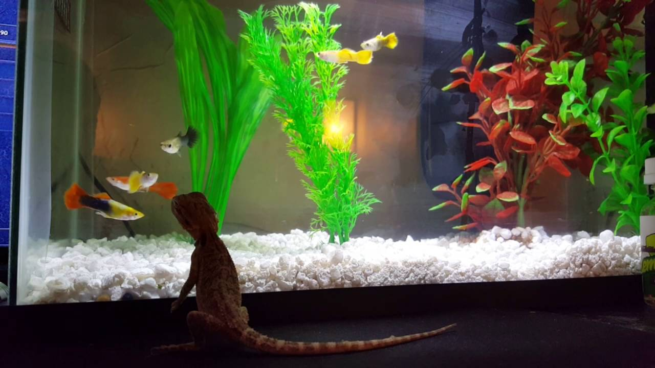 Cute little bearded dragon being funny with the fish tank for Cute fish tanks