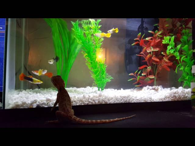 Cute little Bearded Dragon being funny with the fish tank!
