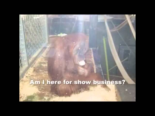 Palm Oil Controversy - The Real Shameful Treatment of Orang Utan is in Aussie Zoo