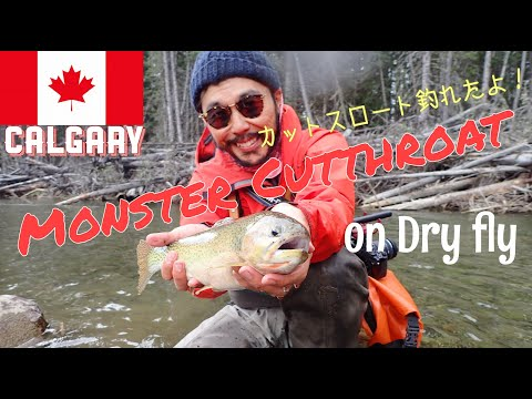 Fly Fishing Cutthroat Trout On Dry Fly Oldman River Southern Alberta, Canada カナダでフライフィッシング カットスロート