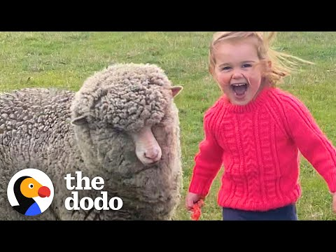 Orphaned Lamb Runs to His Favorite Toddler Like a Dalmatian | The Dodo Little But Fierce