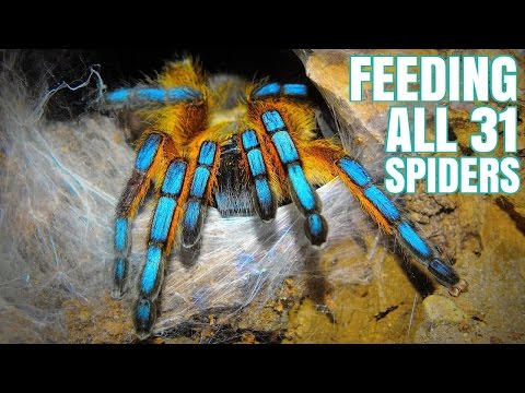 Feeding my 31 Tarantulas (GONE WRONG)
