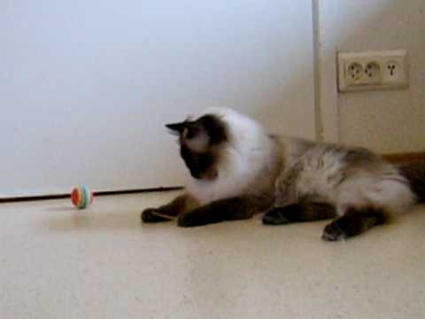 Seal colorpoint ragdoll playing