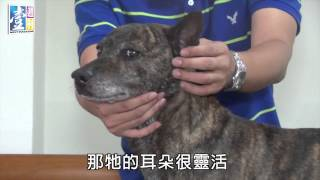 日本的柴犬、德國的貴賓狗、從北極來的哈士奇,那麼你知道台灣有什麼原...