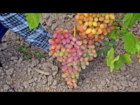 Новый сорт столового винограда ЮЛИАН. Красный виноград
