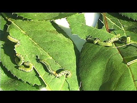 Caterpillars enjoy rose leaves