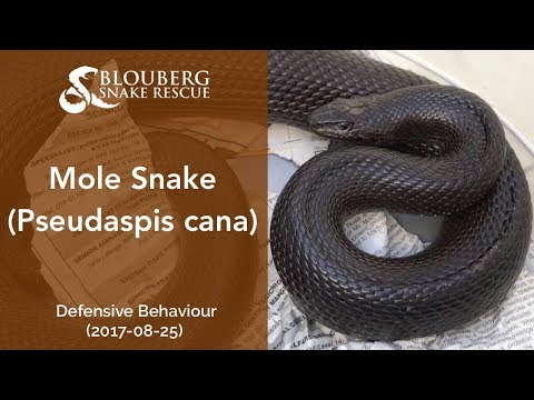 Mole Snake Close-Up (20170826)