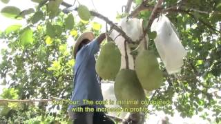 The Cure Restoring healthy profits for Jackfruit and Durian farmers   Southern Philippines