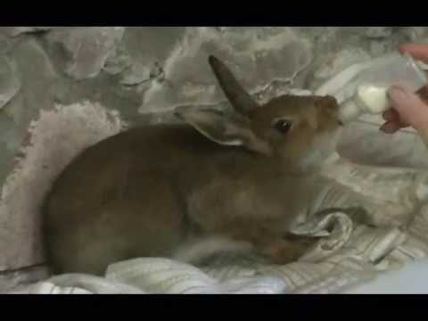 A day in the life of a semi-domesticated hare