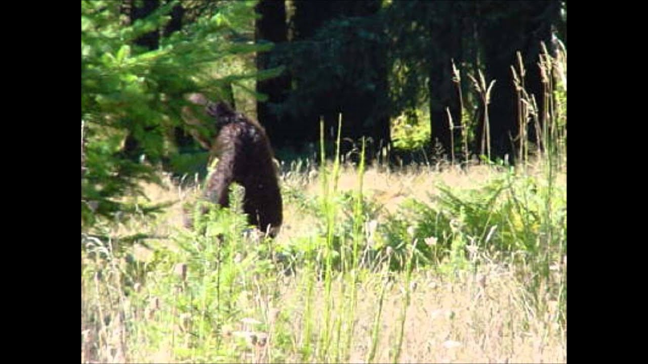 top 5 best bigfoot sightings of 2014 - YouTube | 1280 x 720 jpeg 100kB