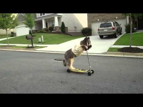 norman the dog riding scooter youtube. Black Bedroom Furniture Sets. Home Design Ideas