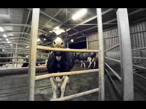 乳牛的一生 :360度全景體驗 The Dairy Industry in 360 Degrees by iAnimal [CC Available]