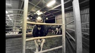 乳牛的一生 :360度全景體驗|The Dairy Industry in 360 Degrees by iAnimal [CC Available]