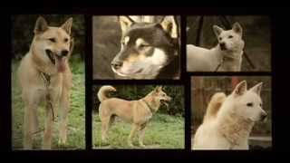 Korean Dog : The Jindo Dog (진돗개)